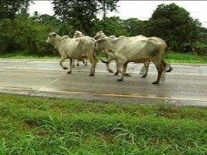 Vaca provoca accidente con 8 muertos en Bolivia