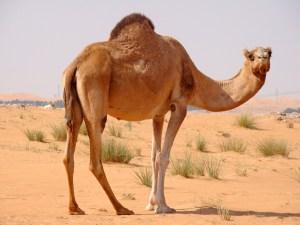 Nueva pandemia podría ser causada por un virus que portan los camellos