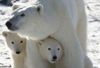 """VIRAL: La docena de osos polares chismosos que """"invadieron"""" un camión en Rusia (VIDEO)"""