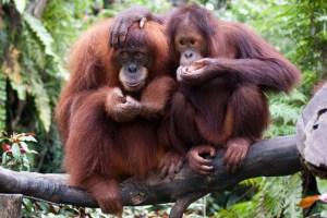 VIRAL: Cayeron unos lentes de sol en un zoológico y un orangután se los probó y modeló (VIDEO)
