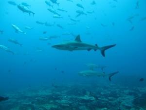 Los tiburones están desapareciendo, fenómeno que dejará un enorme agujero en los océanos