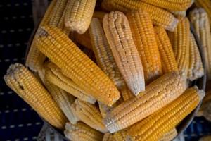 Venmaíz y Asovema: Podría haber un incremento de precios ante imposición de aranceles al maíz y el arroz