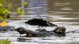 Por qué los cocodrilos cambiaron tan poco desde la era de los dinosaurios