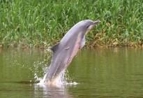 """Incluyen al delfín gris en categoría """"peligro de extinción"""" en Sudamérica"""