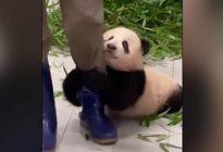 VIRAL: Video de un bebé panda aferrándose a su cuidador arrasa en las redes sociales