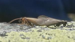 Potamophylax coronavirus, un insecto con nombre temible y mensaje ecologista