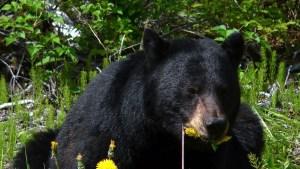 """Estudiantes captaron en EEUU a un oso parado en extraña pose """"humana"""" (Fotos)"""
