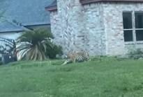 Un hombre es detenido tras huir de la Policía con un tigre en un vecindario de Houston (VIDEO)