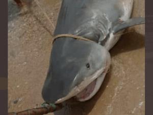 EN VIDEO: Pescadores fueron sorprendidos por un tiburón en Macuto… ¡Y lo cazaron!