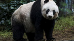 Según China, los osos pandas ya no están en peligro tras alcanzar mil 800 ejemplares