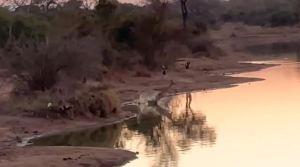 VIRAL: Antílope escapó de perros salvajes a través de una laguna llena de cocodrilos (Video)
