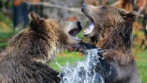 Grabaron desde tres ángulos intensa pelea entre dos osos pardos en Finlandia (Video)