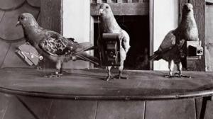 """Drones de carne y hueso: Las increíbles """"palomas espías"""" que usaron los alemanes en la guerra y la CIA"""